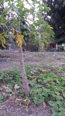 Papaya tree with squash vines at its base