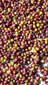 Close-up of red and yellow berries drying in the sun