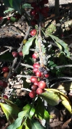 Coffee plant with ripe berries
