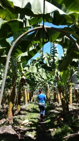 Rows of banana trees with a volunteer walking near them for perspective.