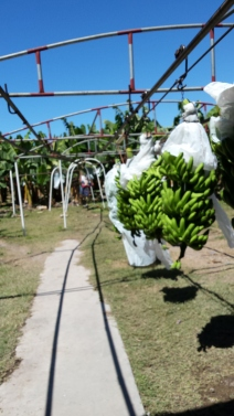 Bunches of bananas on the conveyor - Each stalk weighs about 74 kg. or over 160 lbs. on average.