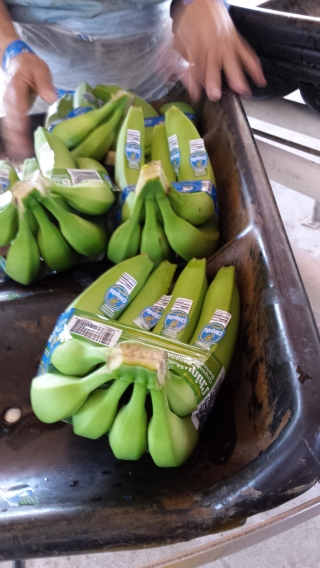 Organic bananas with the Chiquita label. Perhaps not all Chiquita bananas are organic, but this shipment was.