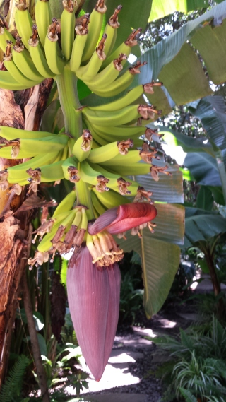 Bananas forming on Ted and Susan's banana tree. Leaves peel back as each bunch begins to grow