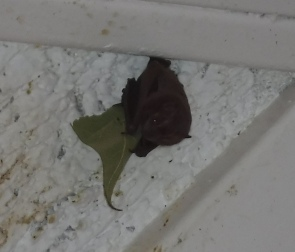 Jamaican Fruit Bat eating a leaf
